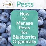 growing blueberries using neem oil and growing other plants organically Growing Blueberries Using Neem Oil and Growing Other Plants Organically